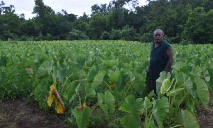 Managing a Dalo Farm in a rural village of Fiji – The Story of Filimoni Kilawekana, Dalo farmer in Korovou